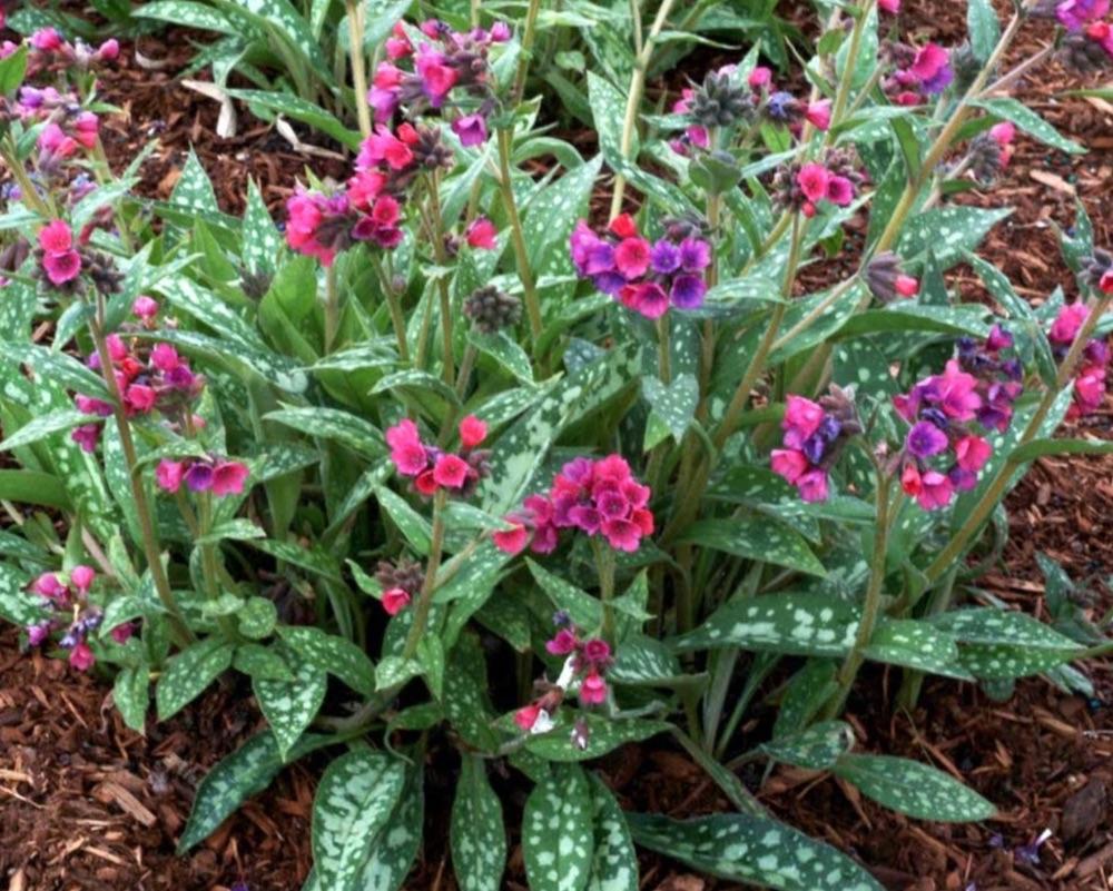 Raspberry Splash Pulmonaria #SilverFoliage #PlantswithSilverLeaves #DramaticFoliagePlants #Gardening #Landscapes #SilverLeafPlants