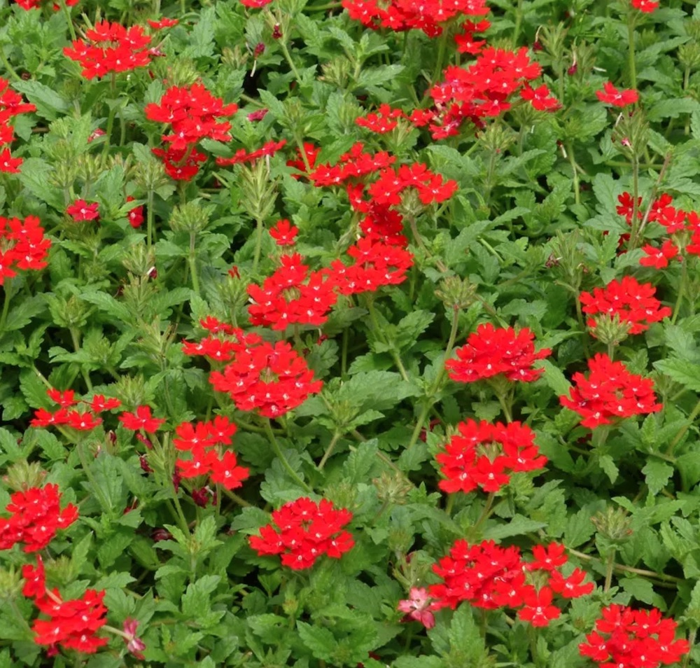 Plants that Attract Hummingbirds - Red Devil Perennial Verbena #Hummingbirds #Garden #Gardening #Plants #GardenPollinators #AttractHummingbirds #NectarRichPlants #BeneficialForPollinators