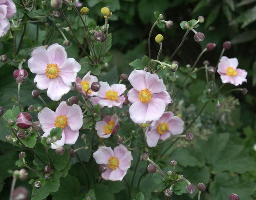 Robustissima Anemone #PollinatorPlants #RabbitResistant #PlantsResistanttoRabbits #PlantsforPollinators #Gardening #Perennials