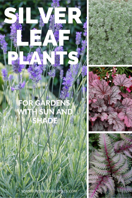 SILVER LEAF PLANTS for gardens B #SilverFoliage #PlantswithSilverLeaves #DramaticFoliagePlants #Gardening #Landscapes #SilverLeafPlants