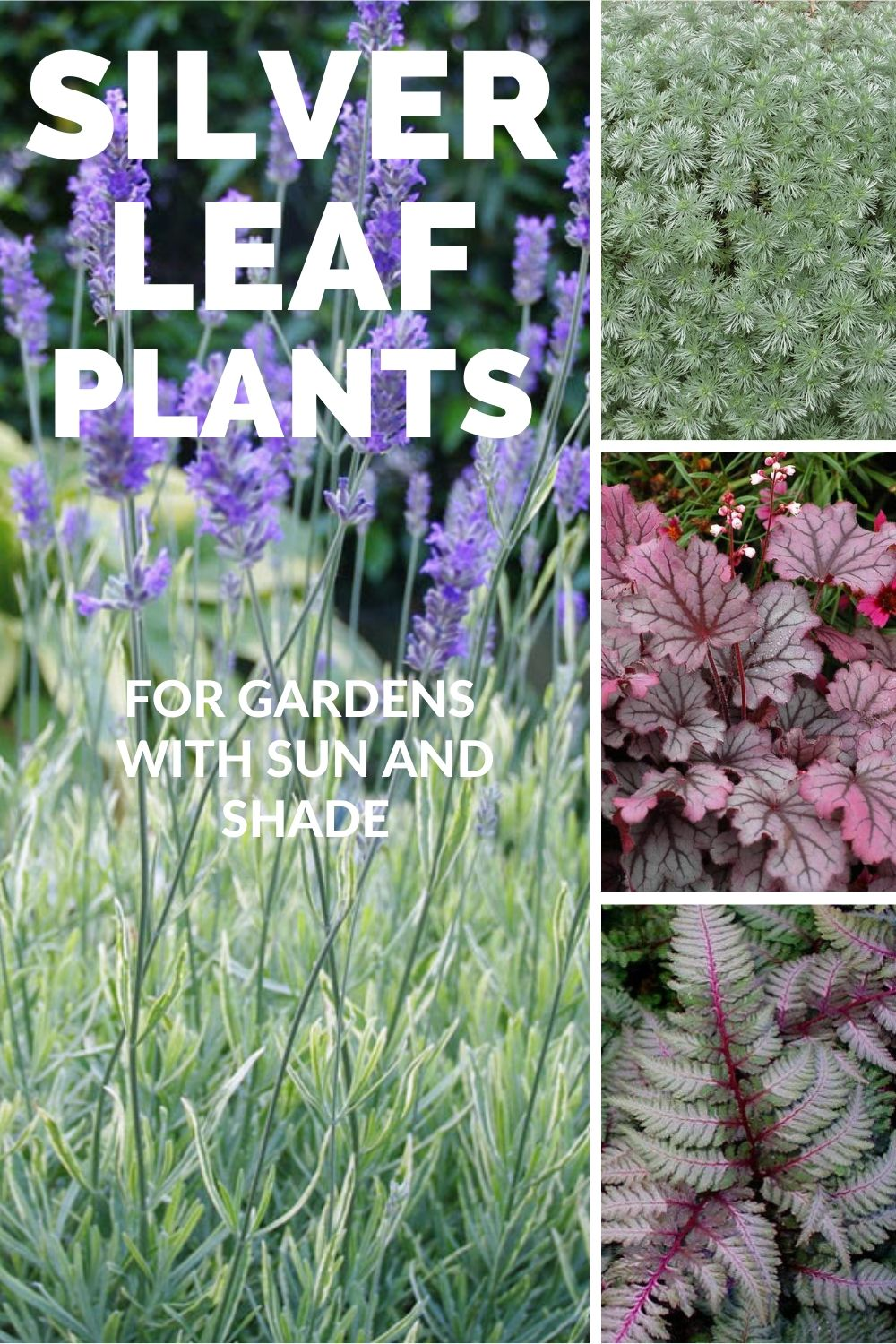SILVER LEAF PLANTS for gardens with Sun and Shade #SilverFoliage #PlantswithSilverLeaves #DramaticFoliagePlants #Gardening #Landscapes #SilverLeafPlants