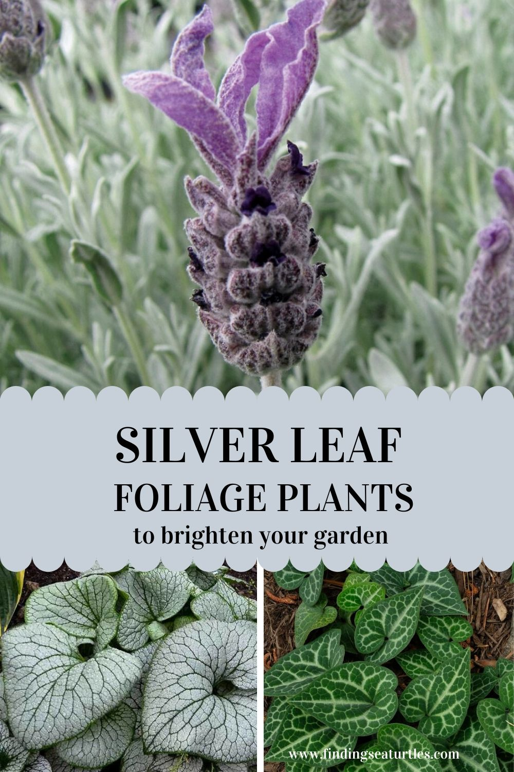 Silver Leaf Foliage Plants to brighten your garden #SilverFoliage #PlantswithSilverLeaves #DramaticFoliagePlants #Gardening #Landscapes #SilverLeafPlants