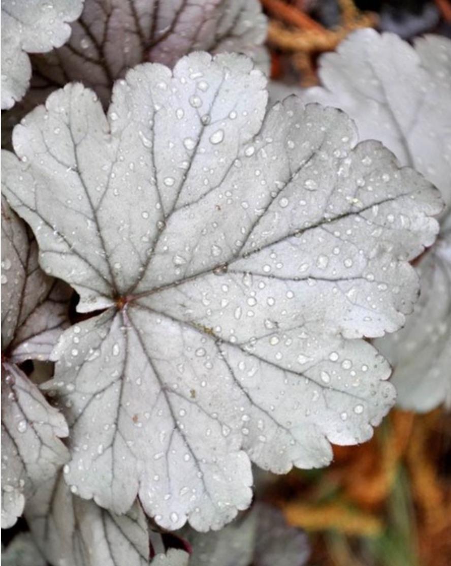 Stainless Steel Heuchera #SilverFoliage #PlantswithSilverLeaves #DramaticFoliagePlants #Gardening #Landscapes #SilverLeafPlants