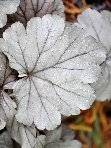 Plants with Silver Leaf Foliage Stainless Steel Heuchera #SilverFoliage #PlantswithSilverLeaves #DramaticFoliagePlants #Gardening #Landscapes #SilverLeafPlants