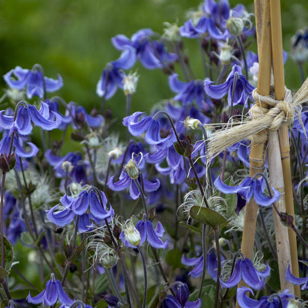 Best Blue Plants for the Garden Stand by Me Clematis #Garden #Plants #Gardening #PlantswithBlueFlowers #PlantswithBlueBlooms #BluePlants #DramaticFoliagePlants