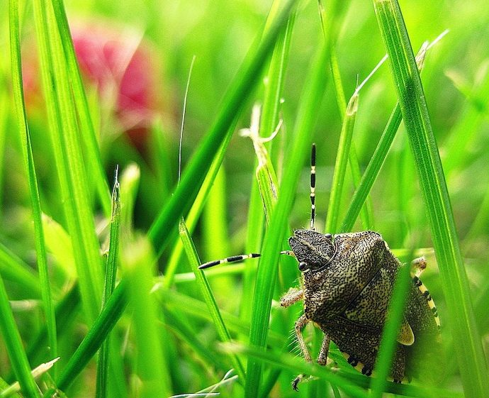 Stink Bugs Invading the Garden