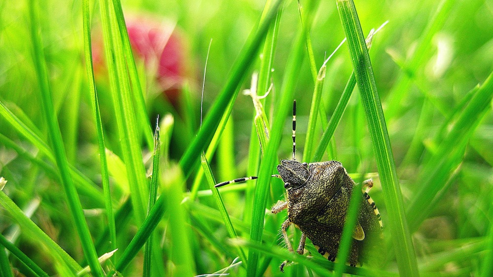In Search for the Next Meal Stink Bug #Garden #Plants #Gardening #GardenPests #StinkBugs #StoptheBMSB #ControltheStinkBug