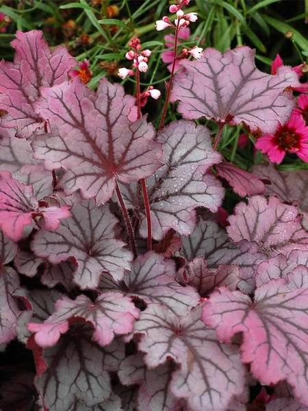Sugar Berry Heuchera #SilverFoliage #PlantswithSilverLeaves #DramaticFoliagePlants #Gardening #Landscapes #SilverLeafPlants