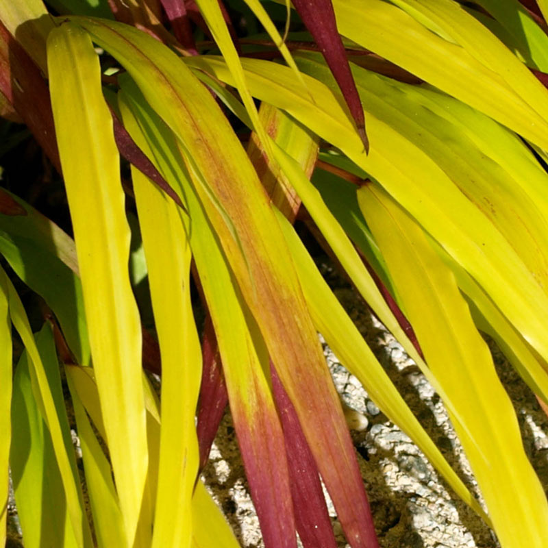 Plants with Gold Leaf Foliage SunFlare Japanese Forest Grass #GoldFoliage #PlantswithGoldLeaves #DramaticFoliagePlants #Gardening #Landscapes #GoldLeafPlants