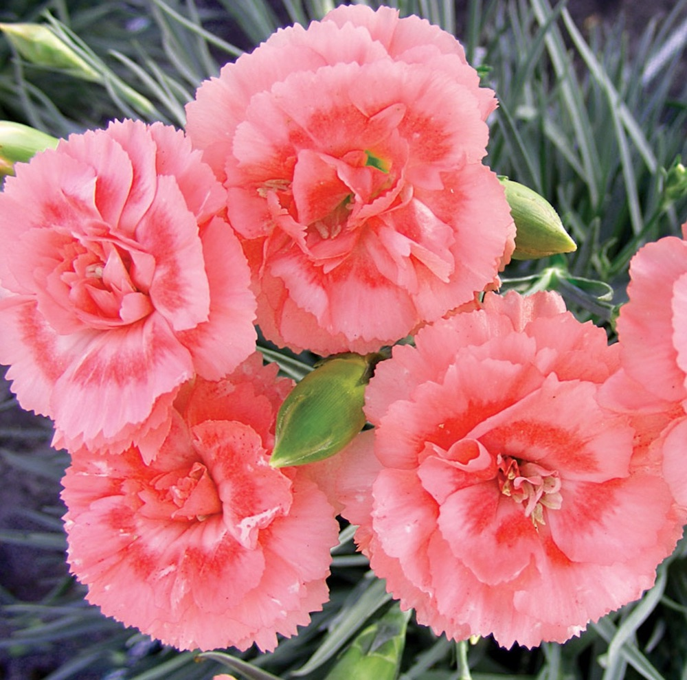 Plants with Silver Leaf Foliage Tall Romance Dianthus #SilverFoliage #PlantswithSilverLeaves #DramaticFoliagePlants #Gardening #Landscapes #SilverLeafPlants