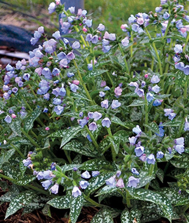 Plants with Silver Foliage Twinkle Toes Pulmonaria #SilverFoliage #PlantswithSilverLeaves #DramaticFoliagePlants #Gardening #Landscapes #SilverLeafPlants
