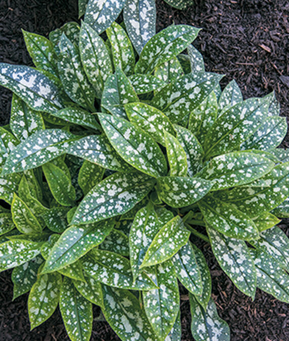 Twinkle Toes Pulmonaria #SilverFoliage #PlantswithSilverLeaves #DramaticFoliagePlants #Gardening #Landscapes #SilverLeafPlants