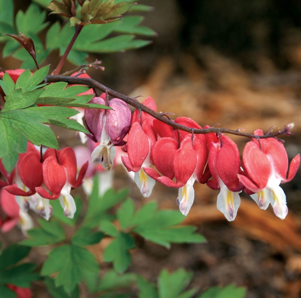 Plants that attract hummingbirds Valentine Dicentra #Hummingbirds #Garden #Gardening #Plants #GardenPollinators #AttractHummingbirds #NectarRichPlants #BeneficialForPollinators