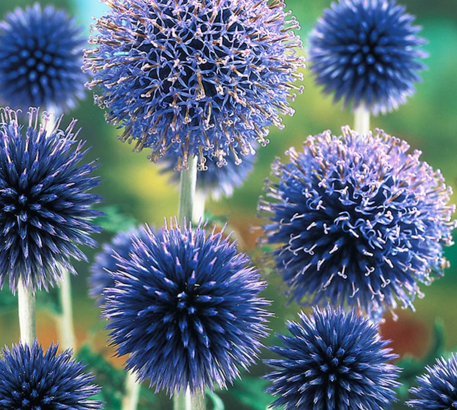 Best Blue Plants for the Garden Veitch's Blue Globe Thistle #Garden #Plants #Gardening #PlantswithBlueFlowers #PlantswithBlueBlooms #BluePlants #DramaticFoliagePlants