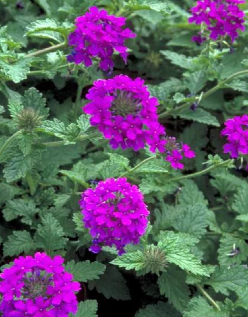 Verbena Homestead Purple #Hummingbirds #Garden #Gardening #Plants #GardenPollinators #AttractHummingbirds #NectarRichPlants #BeneficialForPollinators