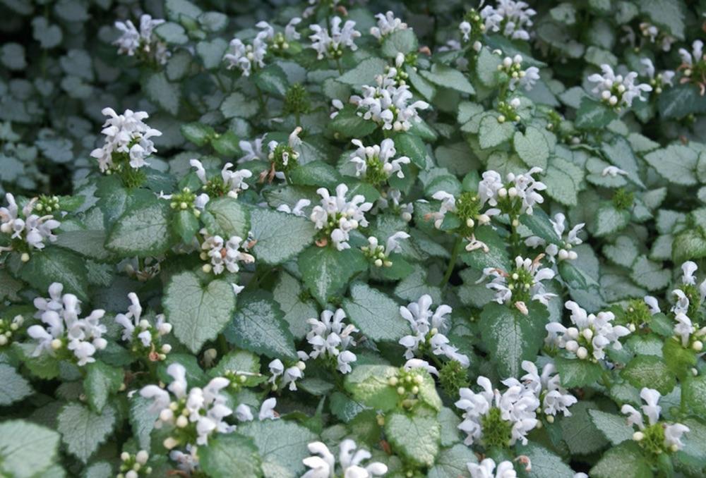 Plants with Silver Foliage White Nancy Lamium #SilverFoliage #PlantswithSilverLeaves #DramaticFoliagePlants #Gardening #Landscapes #SilverLeafPlants