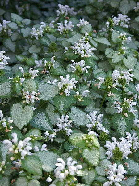 White Nancy Lamium #SilverFoliage #PlantswithSilverLeaves #DramaticFoliagePlants #Gardening #Landscapes #SilverLeafPlants