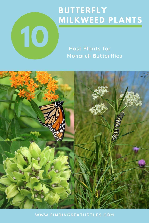 10 Butterfly Milkweed Plants Host Plants for Monarch Butterflies #MonarchButterflies #Butterflies #Garden #Gardening #Plants #GardenPollinators #AttractMonarchButterflies #NectarRichPlants #BeneficialForPollinators
