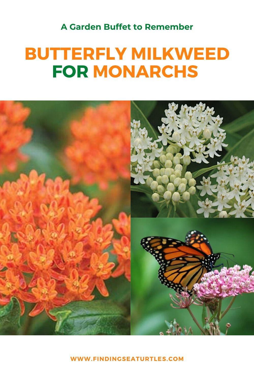 A Garden Buffet to Remember Butterfly Milkweed for Monarchs #MonarchButterflies #Butterflies #Garden #Gardening #Plants #GardenPollinators #AttractMonarchButterflies #NectarRichPlants #BeneficialForPollinators