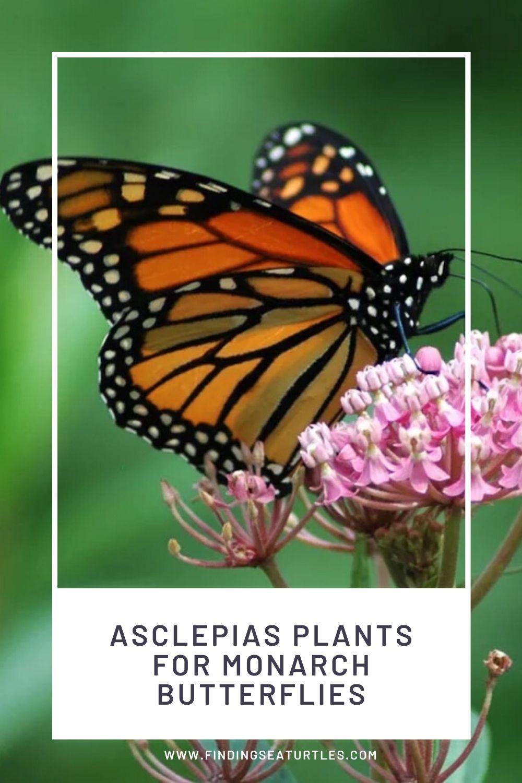 Asclepias Plants for Monarch Butterflies #MonarchButterflies #Butterflies #Garden #Gardening #Plants #GardenPollinators #AttractMonarchButterflies #NectarRichPlants #BeneficialForPollinators