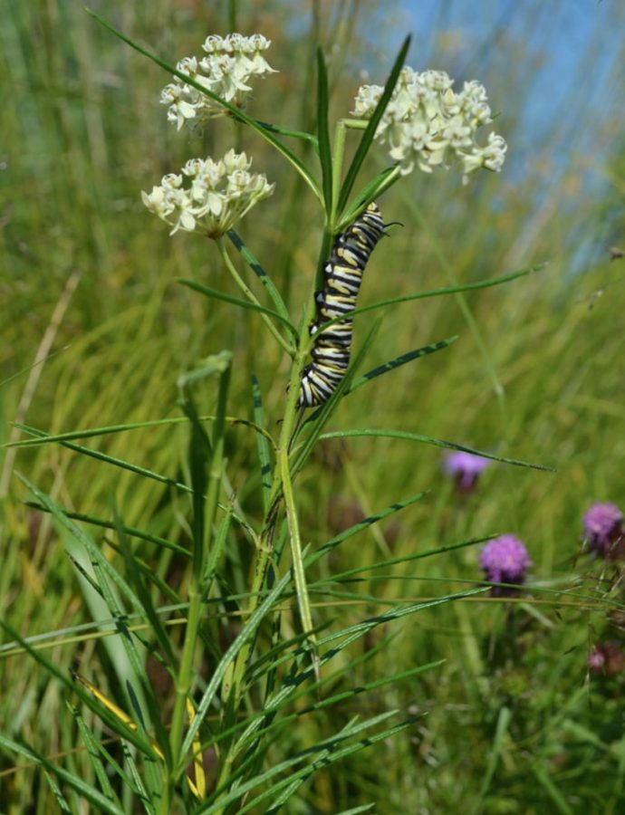 Host Plants for Monarch Butterflies