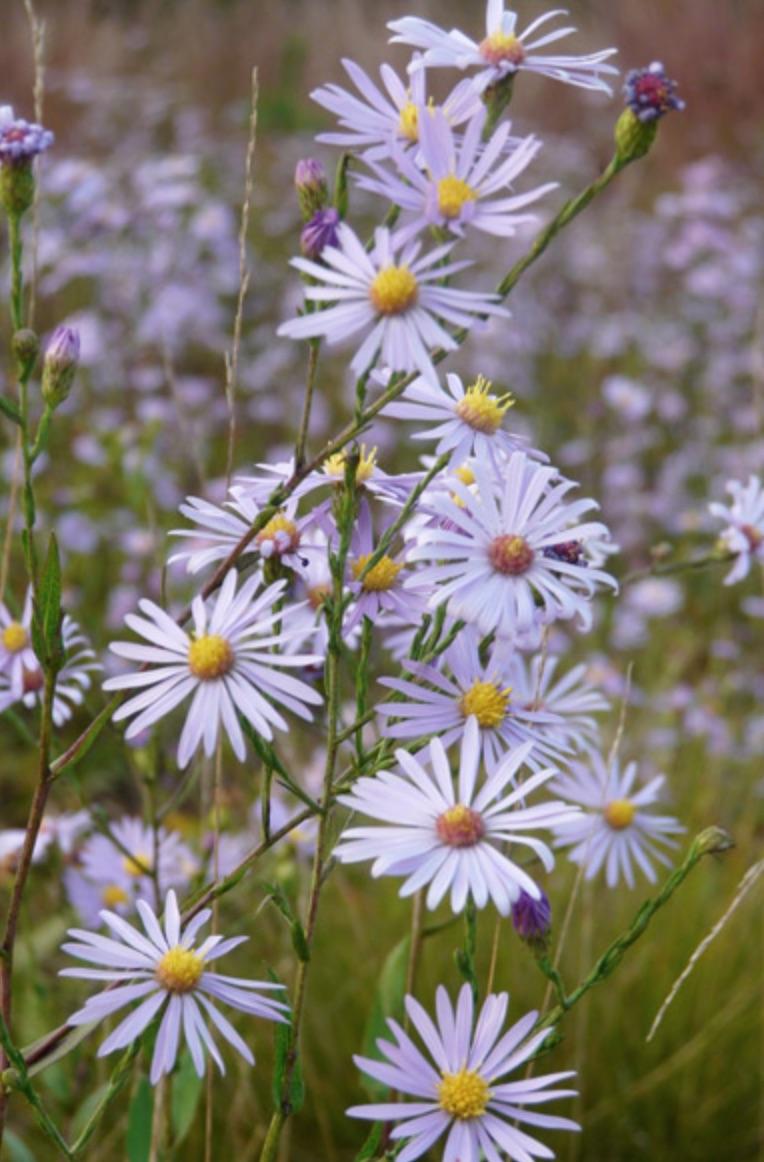 Native Plants Aster azureus or Sky Blue Aster #MonarchButterflies #Butterflies #SavetheMonarchs #Gardening #Plants #GardenPollinators #AttractMonarchButterflies #NectarRichPlants #BeneficialForPollinators
