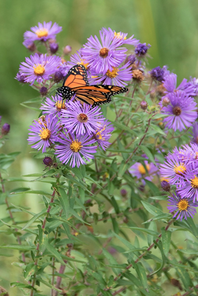 Plants that Attract Monarch Butterflies Aster novae-angliae or New England Aster #MonarchButterflies #Butterflies #SavetheMonarchs #Gardening #Plants #GardenPollinators #AttractMonarchButterflies #NectarRichPlants #BeneficialForPollinators