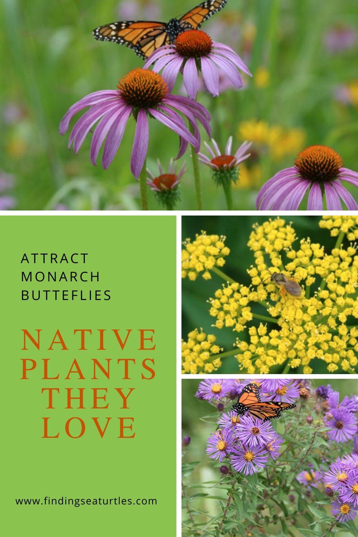 Attract Monarch Butterflies Native Plants they Love #MonarchButterflies #Butterflies #SavetheMonarchs #Gardening #Plants #GardenPollinators #AttractMonarchButterflies #NectarRichPlants #BeneficialForPollinators