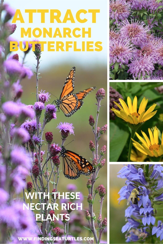 Attract Monarch Butterflies with Nectar Rich Plants #MonarchButterflies #Butterflies #SavetheMonarchs #Gardening #Plants #GardenPollinators #AttractMonarchButterflies #NectarRichPlants #BeneficialForPollinators