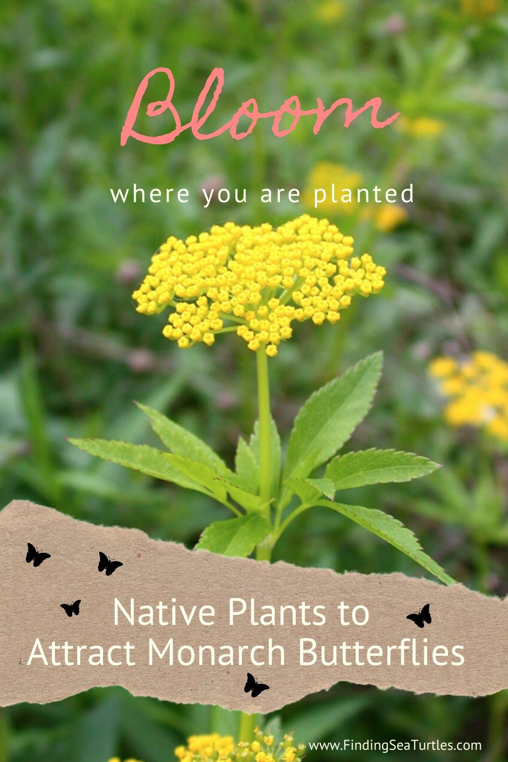 Bloom where you are planted Native Plants to Attract Monarch Butterflies #MonarchButterflies #Butterflies #SavetheMonarchs #Gardening #Plants #GardenPollinators #AttractMonarchButterflies #NectarRichPlants #BeneficialForPollinators