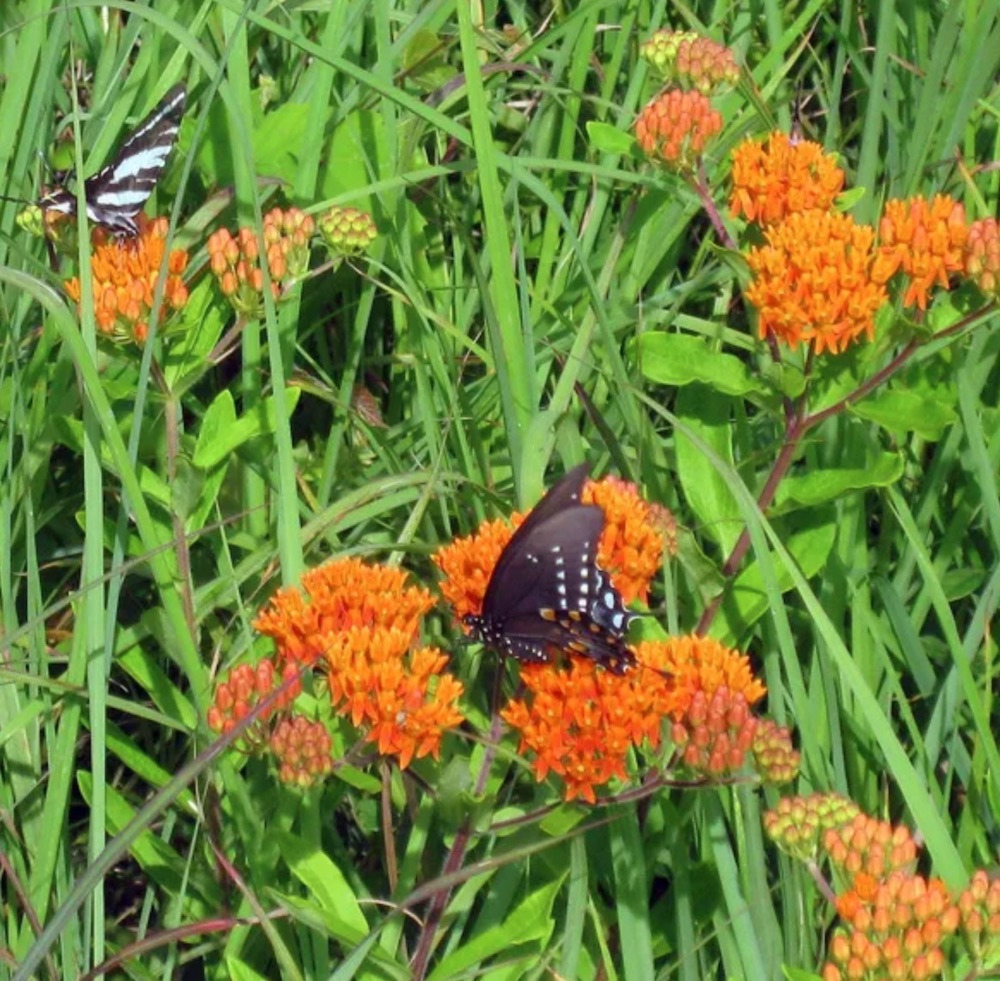 Adult Food Source Butterfly Weed Clay #MonarchButterflies #Butterflies #Garden #Gardening #Plants #GardenPollinators #AttractMonarchButterflies #NectarRichPlants #BeneficialForPollinators