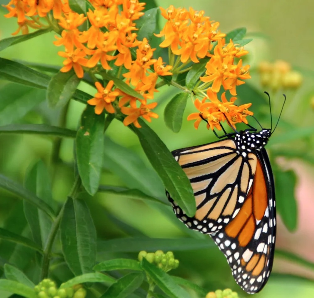 Food Plant Source Butterfly Weed Clay #MonarchButterflies #Butterflies #Garden #Gardening #Plants #GardenPollinators #AttractMonarchButterflies #NectarRichPlants #BeneficialForPollinators