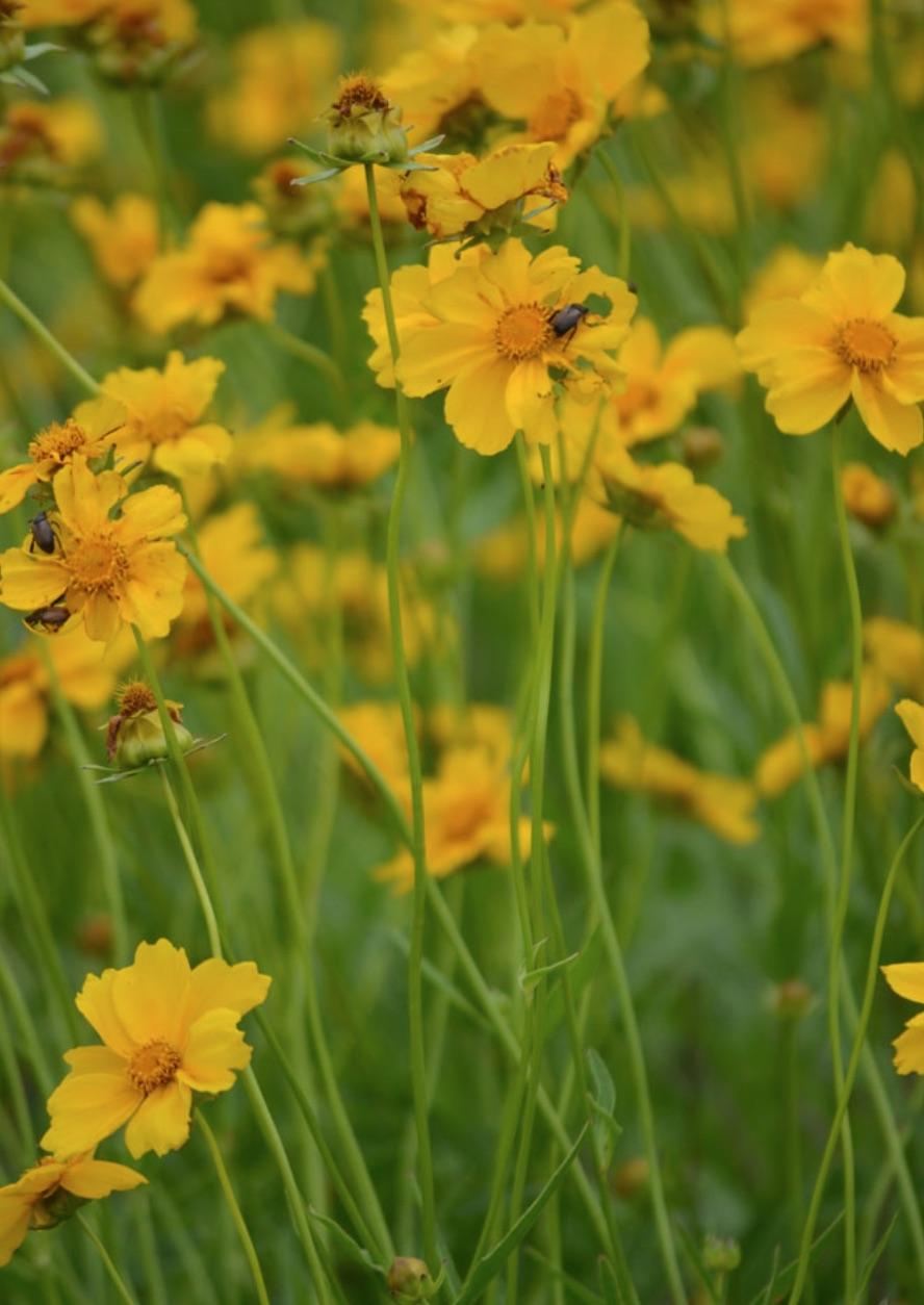 Plants that Attract Monarch Butterflies Coreopsis lanceolata Lance-Leaf Coreopsis #MonarchButterflies #Butterflies #SavetheMonarchs #Gardening #Plants #GardenPollinators #AttractMonarchButterflies #NectarRichPlants #BeneficialForPollinators