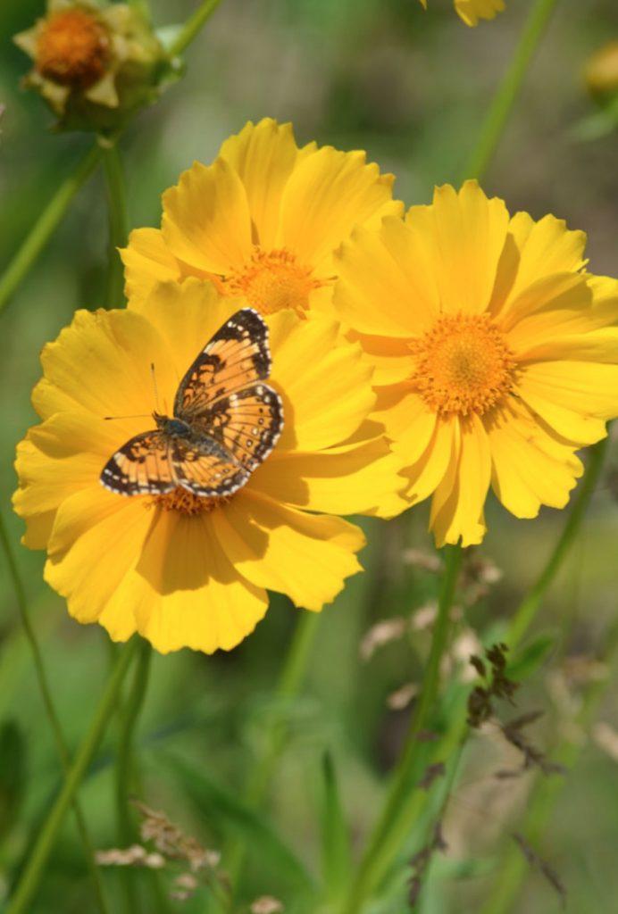 Pollinator Gardening Coreopsis lanceolata or Lance-Leaf Coreopsis #MonarchButterflies #Butterflies #SavetheMonarchs #Gardening #Plants #GardenPollinators #AttractMonarchButterflies #NectarRichPlants #BeneficialForPollinators