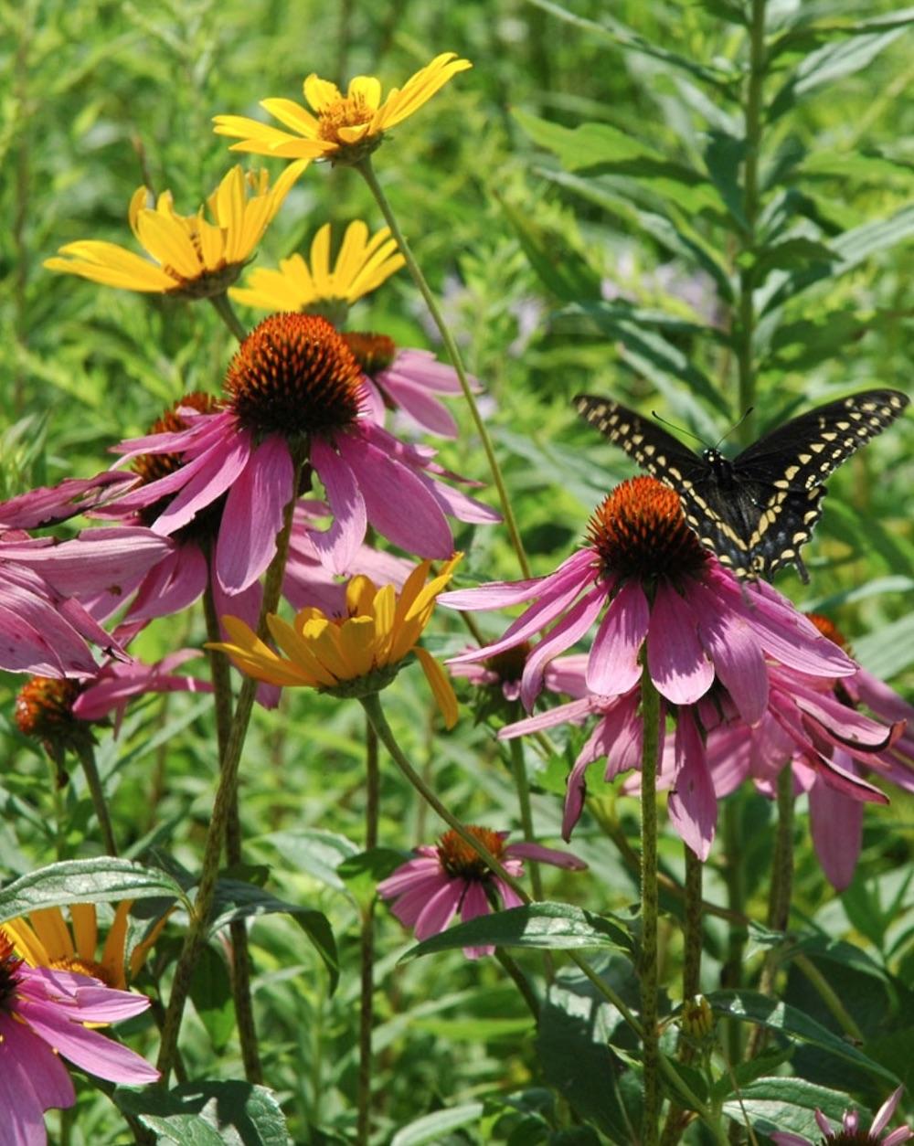 Native Plants Echinacea purpurea Purple Coneflower with Black Swallowtail #MonarchButterflies #Butterflies #SavetheMonarchs #Gardening #Plants #GardenPollinators #AttractMonarchButterflies #NectarRichPlants #BeneficialForPollinators
