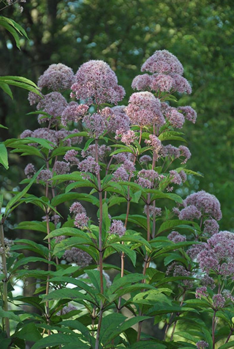 Native for Pollinators Eupatorium fistulosum or Tall Joe Pye Weed #MonarchButterflies #Butterflies #SavetheMonarchs #Gardening #Plants #GardenPollinators #AttractMonarchButterflies #NectarRichPlants #BeneficialForPollinators