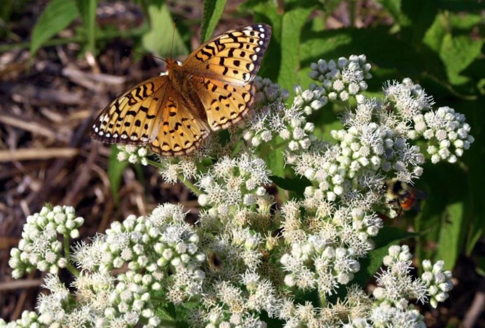 Plants that Attract Monarch Butterflies Eupatorium perfoliatum or Boneset #MonarchButterflies #Butterflies #SavetheMonarchs #Gardening #Plants #GardenPollinators #AttractMonarchButterflies #NectarRichPlants #BeneficialForPollinators
