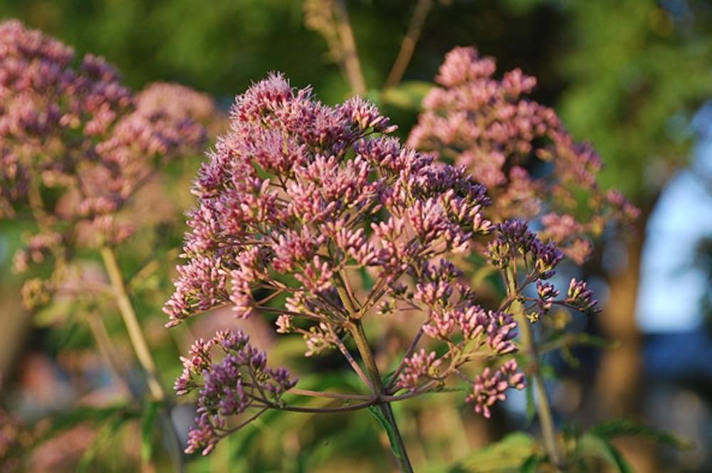 Plants that Attract Monarch Butterflies Eupatorium purpureum or Sweet Joe Pye Weed #MonarchButterflies #Butterflies #SavetheMonarchs #Gardening #Plants #GardenPollinators #AttractMonarchButterflies #NectarRichPlants #BeneficialForPollinators