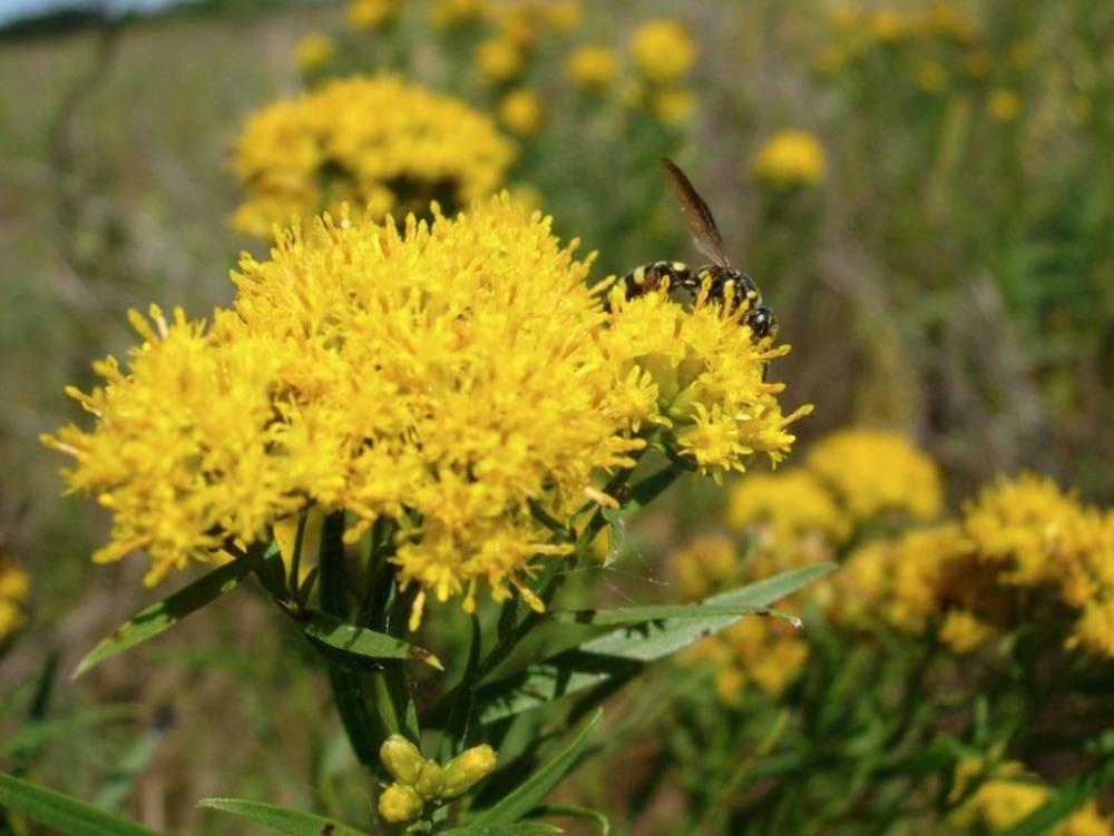 Native Plants Euthamia graminifolia Grass-Leaved Goldenrod #MonarchButterflies #Butterflies #SavetheMonarchs #Gardening #Plants #GardenPollinators #AttractMonarchButterflies #NectarRichPlants #BeneficialForPollinators