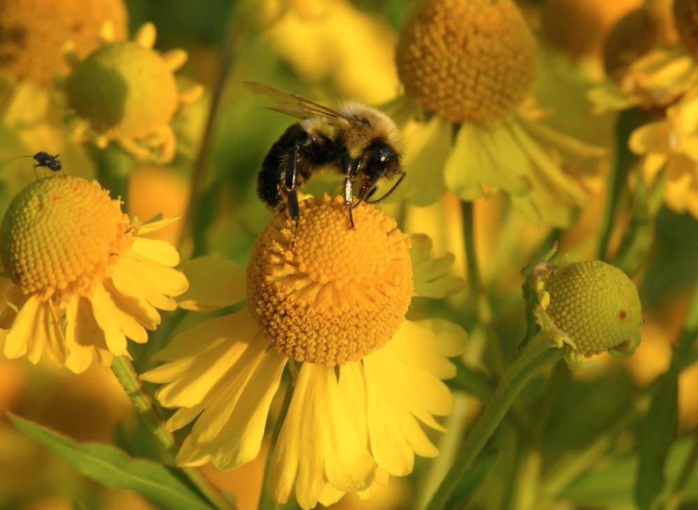Plants that Attract Monarch Butterflies Helenium autumnale or Sneezeweed #MonarchButterflies #Butterflies #SavetheMonarchs #Gardening #Plants #GardenPollinators #AttractMonarchButterflies #NectarRichPlants #BeneficialForPollinators