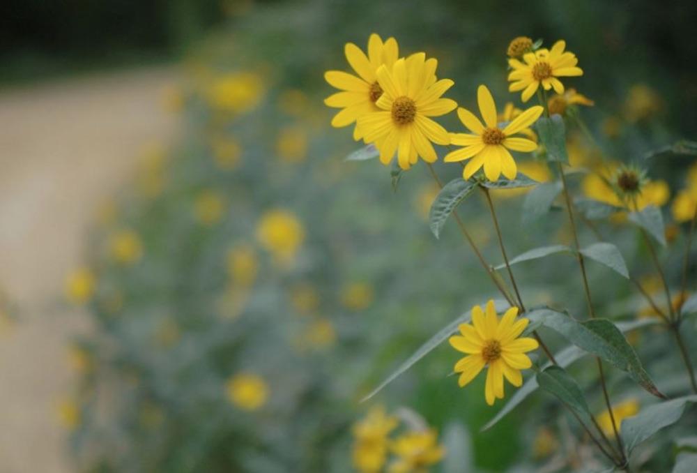 Native Plants Helianthus divaricatus Woodland Sunflower #MonarchButterflies #Butterflies #SavetheMonarchs #Gardening #Plants #GardenPollinators #AttractMonarchButterflies #NectarRichPlants #BeneficialForPollinators