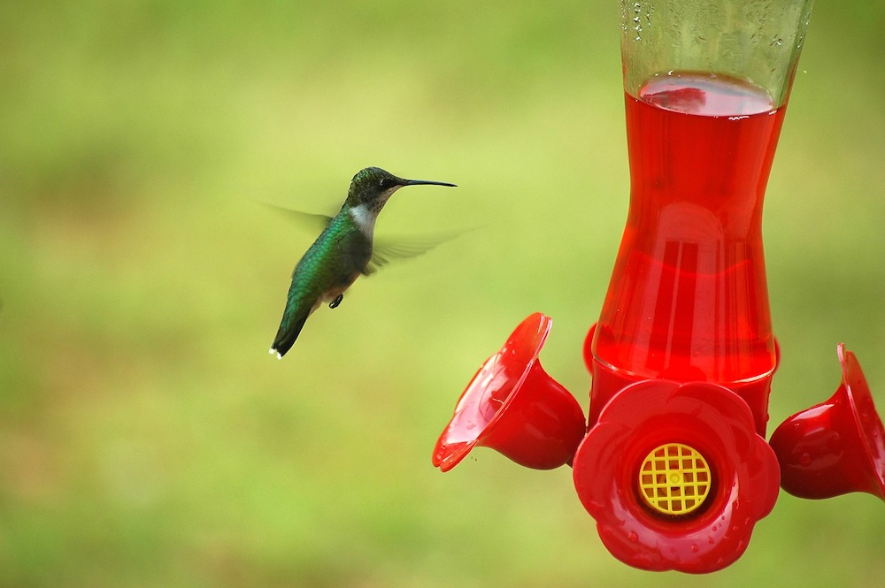 Hummingbird at Hummingbird Feeder #VinegarUses #Gardening #AllNaturalCleaning #SaveMoney #SaveTime #BudgetFriendly #NonToxic #EnvironmentallyFriendly #PatioCleaning #VinegarCleaning