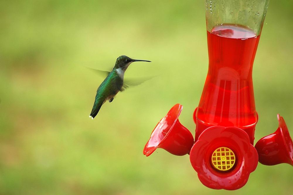 Hummingbird at Hummingbird Feeder #VinegarUses #Gardening #AllNaturalCleaning #SaveMoney #SaveTime #BudgetFriendly #NonToxic #EnvironmentallyFriendly #PatioCleaning #VinegarCleaning