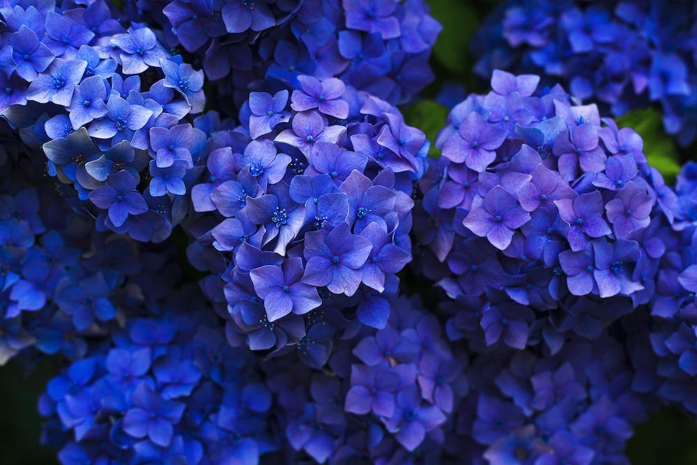 Pink Blooms Turn Blue Hydrangea Shrub #VinegarUses #Gardening #AllNaturalCleaning #SaveMoney #SaveTime #BudgetFriendly #NonToxic #EnvironmentallyFriendly #PatioCleaning #VinegarCleaning