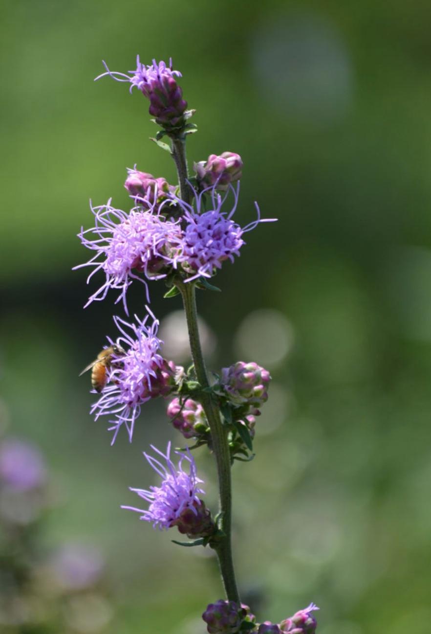 Plants that Attract Monarch Butterflies Liatris aspera or Button Blazing Star #MonarchButterflies #Butterflies #SavetheMonarchs #Gardening #Plants #GardenPollinators #AttractMonarchButterflies #NectarRichPlants #BeneficialForPollinators
