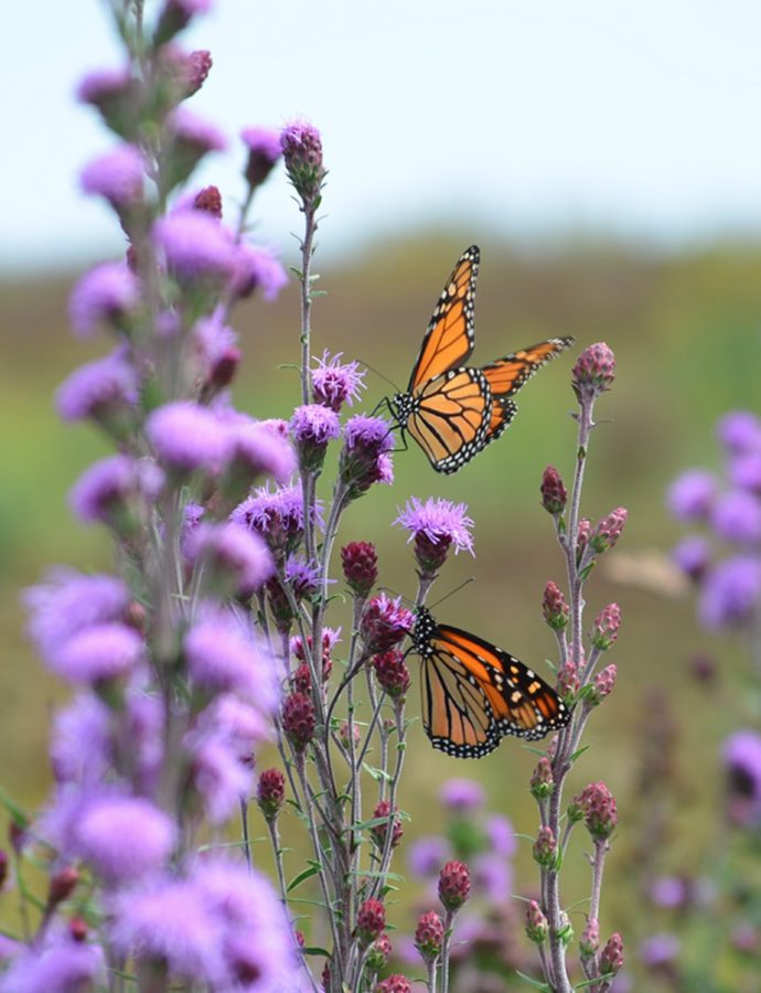 Plants that Attract Monarch Butterflies