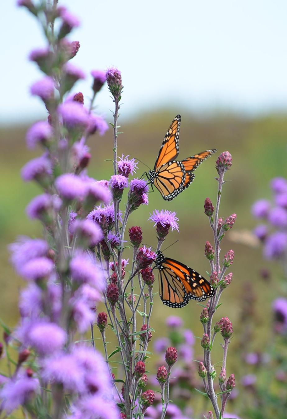 Native Plants Liatris ligulistylis or Meadow Blazing Star #MonarchButterflies #Butterflies #SavetheMonarchs #Gardening #Plants #GardenPollinators #AttractMonarchButterflies #NectarRichPlants #BeneficialForPollinators