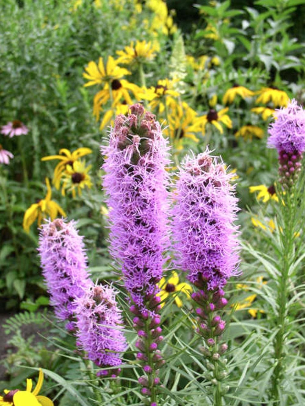 Native Plants Liatris spicata or Dense Blazing Star #MonarchButterflies #Butterflies #SavetheMonarchs #Gardening #Plants #GardenPollinators #AttractMonarchButterflies #NectarRichPlants #BeneficialForPollinators