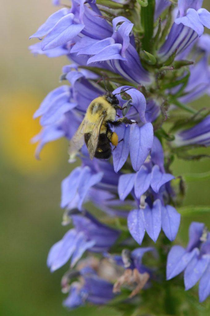 Nectar Rich Lobelia siphilitica or Great Blue Lobelia #MonarchButterflies #Butterflies #SavetheMonarchs #Gardening #Plants #GardenPollinators #AttractMonarchButterflies #NectarRichPlants #BeneficialForPollinators