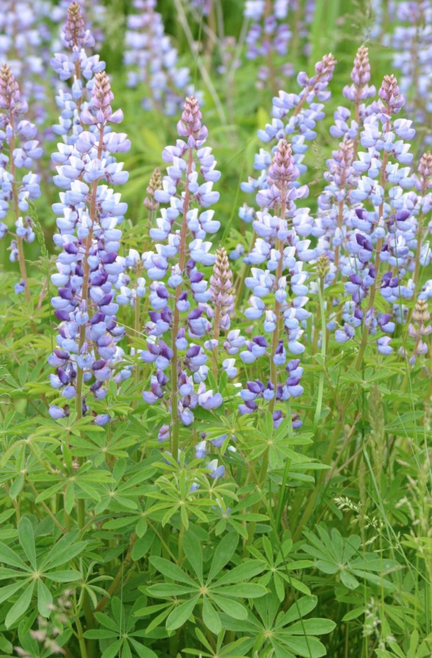 Nectar Rich Plants Lupinus perennis Wild Lupine #MonarchButterflies #Butterflies #SavetheMonarchs #Gardening #Plants #GardenPollinators #AttractMonarchButterflies #NectarRichPlants #BeneficialForPollinators